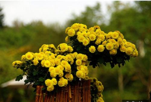 Chrysanthemum, fall's favorite flower — @AJ/Flickr