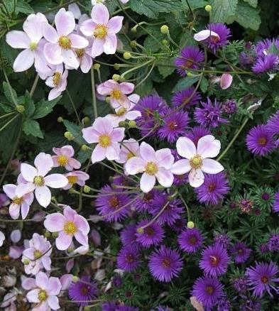 'Victor Jones' anemone and 'Purple Dome' aster — vjs