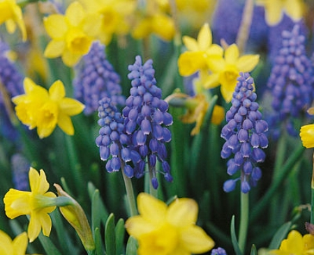 Daffodils and grape hyacinths won't get eaten. Plant now.