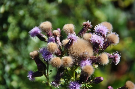 Thistle going to seed. — Lotus Johnson/Flickr
