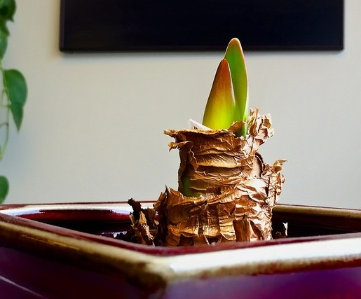 Just emerging, rose-tinted amaryllis shoots. — Timothy Valentine/Flickr