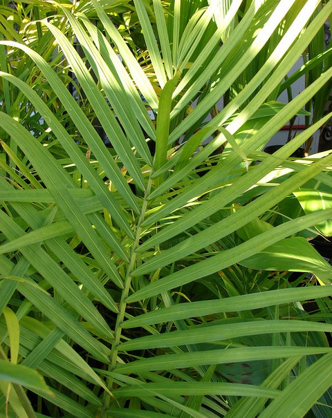Majesty palm fronds, good rustle potential. — Forest and Kim Starr/Flickr