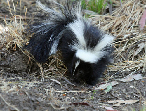 Skunks are on the move with mating season here. — Greg Schechter/Flickr