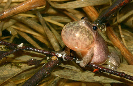 Spring peepers, about the size of a quarter.  — Todd Pierson/Flickr