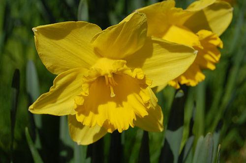 The familiar sunny-yellow daffodil. — Tim Hodson/Flickr