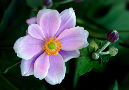 Japanese anemones are reliable late bloomers. — Bernard Spragg/Flickr