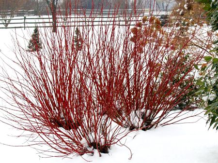 Color in winter from 'Arctic Fire' shrubby dogwood. — Proven Winners