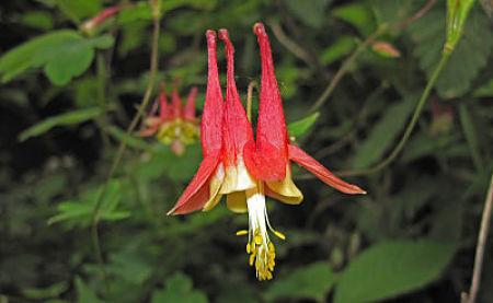 Native Eastern columbine. — James St. John/Flickr