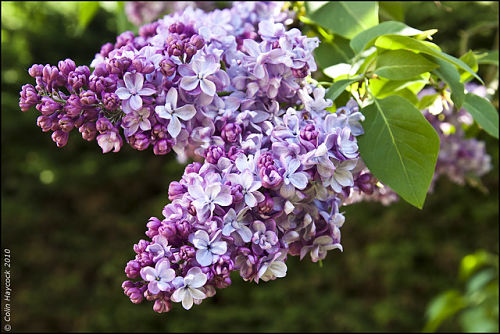A few trusses of lilac can perfume a room. — Colin Haycock/Flickr
