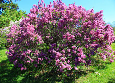 The ideal lilac - and why doesn't mine look like this? — gardener41/Flickr