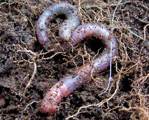 Earthworms work tirelessly to improve soil. — pfly/Flickr