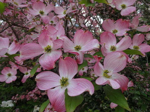 The dogwood is New Jersey's official memorial tree, — Mrowka/Creative Commons