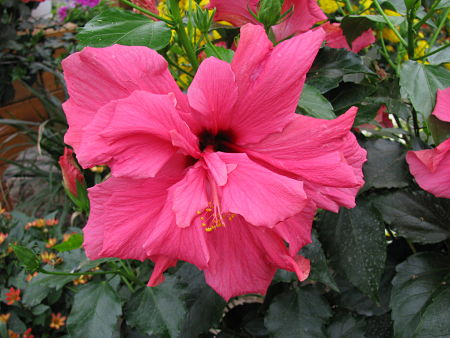 Tropical hibiscus can be fully double. — Les Serres Fortier/Creative Commons