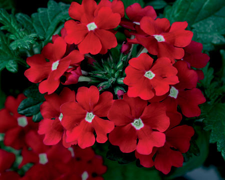 Try the cooler reds as in this 'Scarlet Star' verbena. — Proven Winners