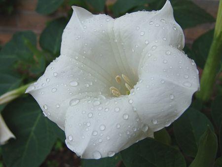 Moonflower vine. — Mark Kempe/Creative Commons