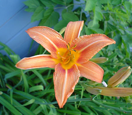 """The original """"tiger lily"""" or """"ditch lily."""" - Princes Milday/Creative Commons"""