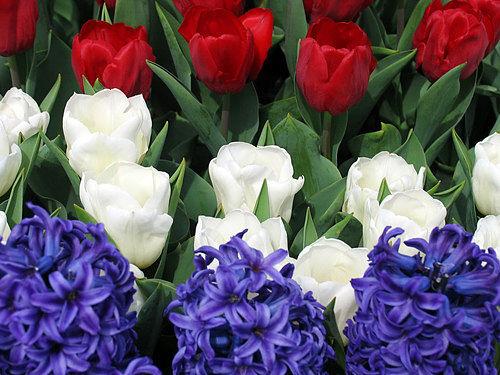 Red and white tulips, deep blue hyacinths. — Arnoud Boekhoorn/Creative Commons