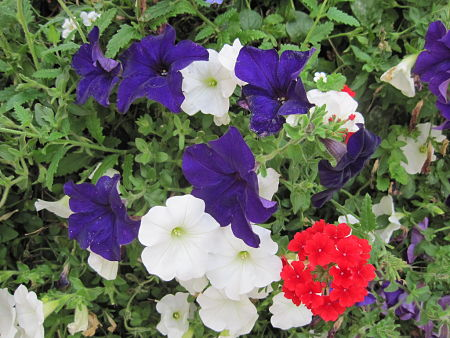 Blue and white petunias, red verbena. — tomylees/Creative Commons