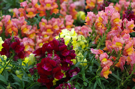 Trim snapdragons for a new flush of bloom. — Cross Duck/Creative Commons