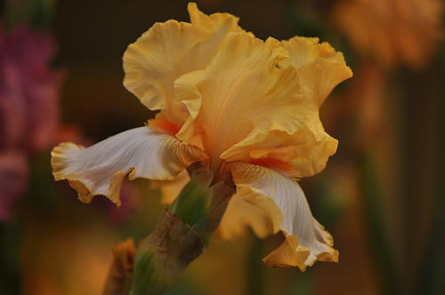 "German or ""bearded"" irises need regular dividing. — PMilera4/Creative Commons"