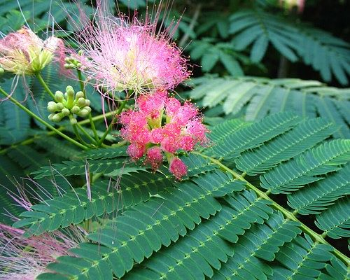 We call this a mimosa but it's really the silk tree. — Jeff Heard/Creative Commons