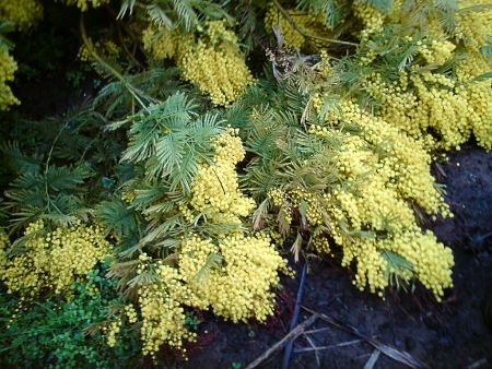 The real mimosa, a tropical tree. — cercamon/Creative Commons