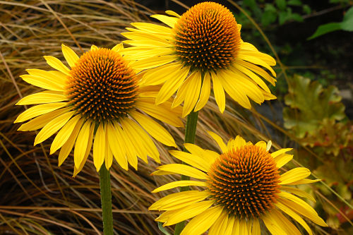 Echinacea 'Maui Sunshine,' as gold as it gets. — Terra Nova Nurseries