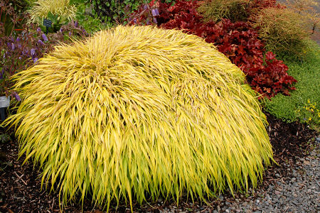 Hakonochloa 'All Gold,' an ornamental grass. — Terra Nova Nurseries