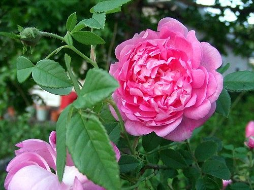 Stop and smell the roses, really. — karindalziel/Creative Commons.