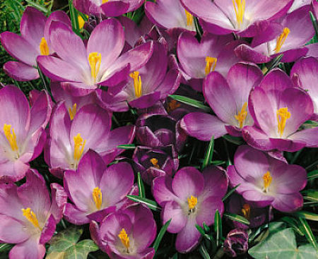 Don't skimp! Plant small bulbs like crocus in generous clumps.
