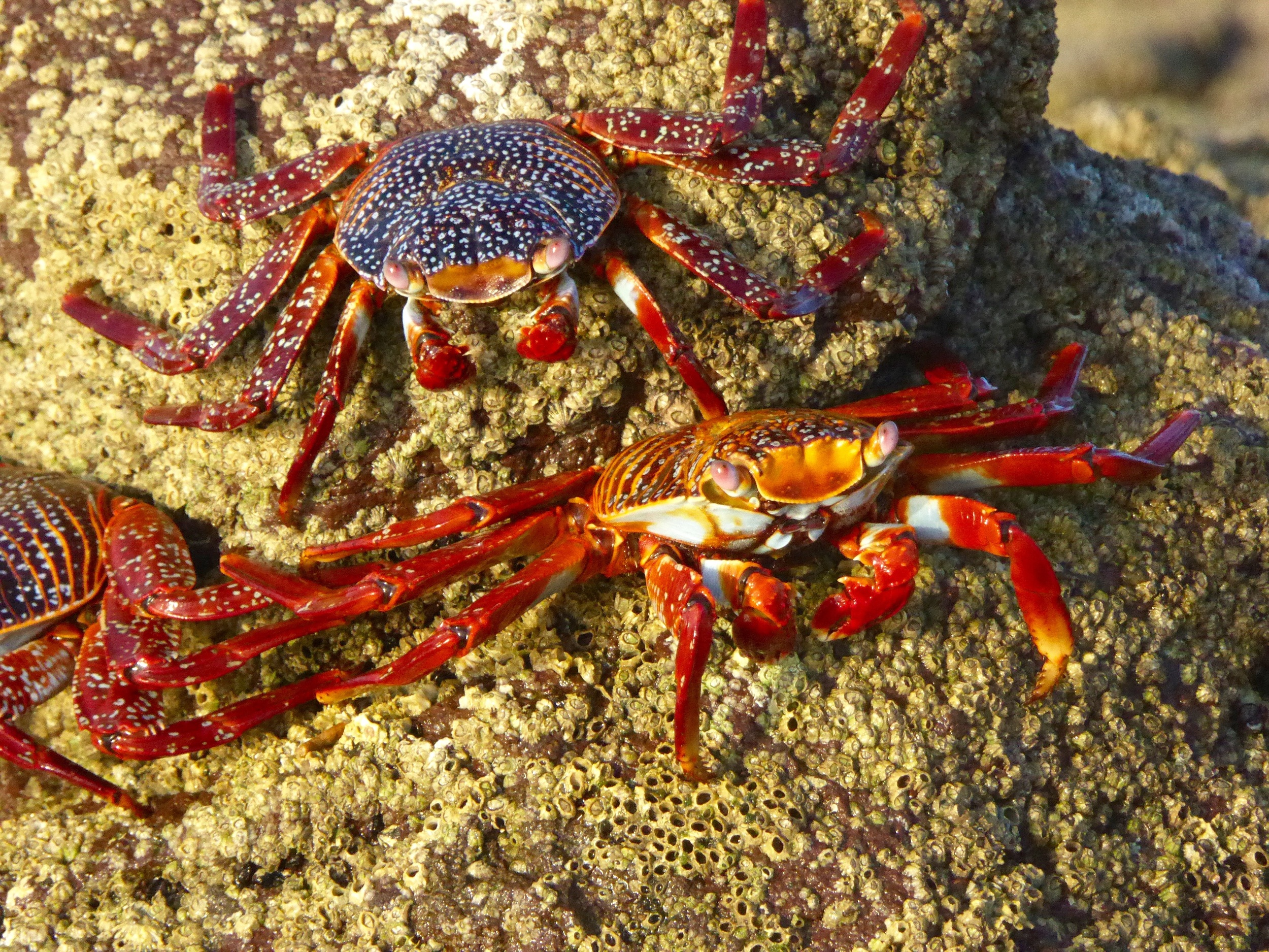 Sally Light Foot Crabs