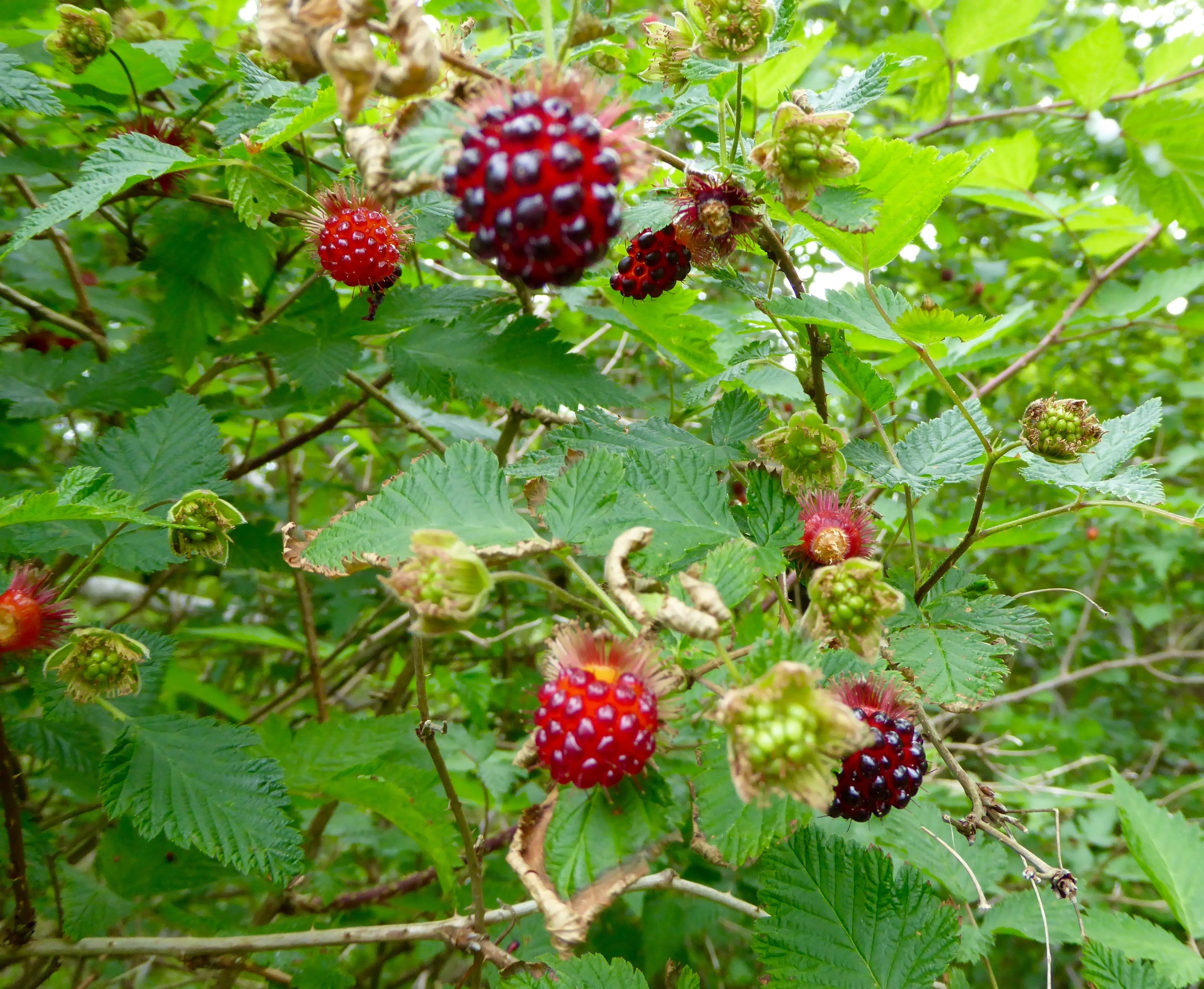 We are anticipating a good harvest of salmon berries this summer. This is encouraging!