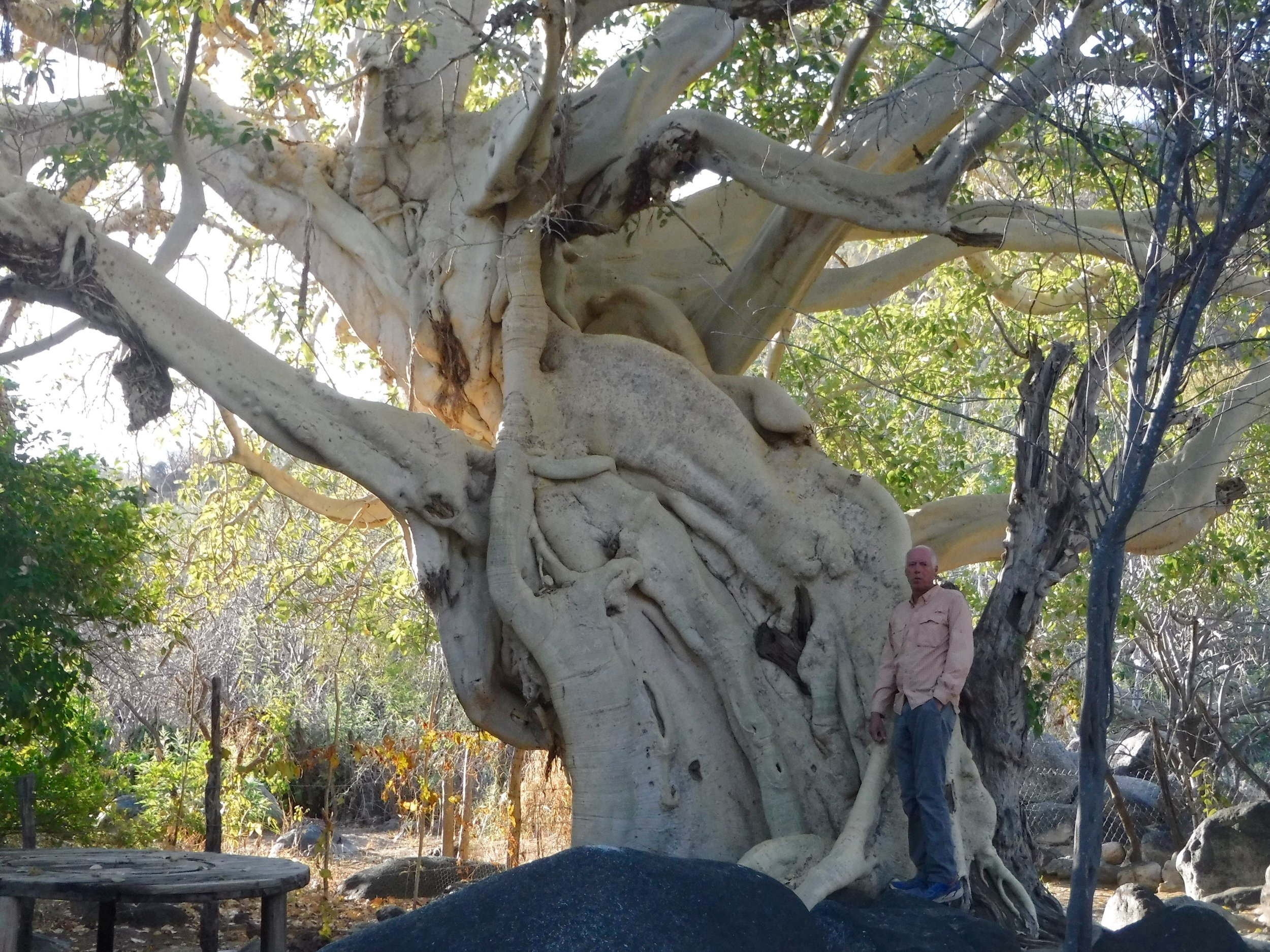 I think that this is the largest fig tree we have seen in Baja.
