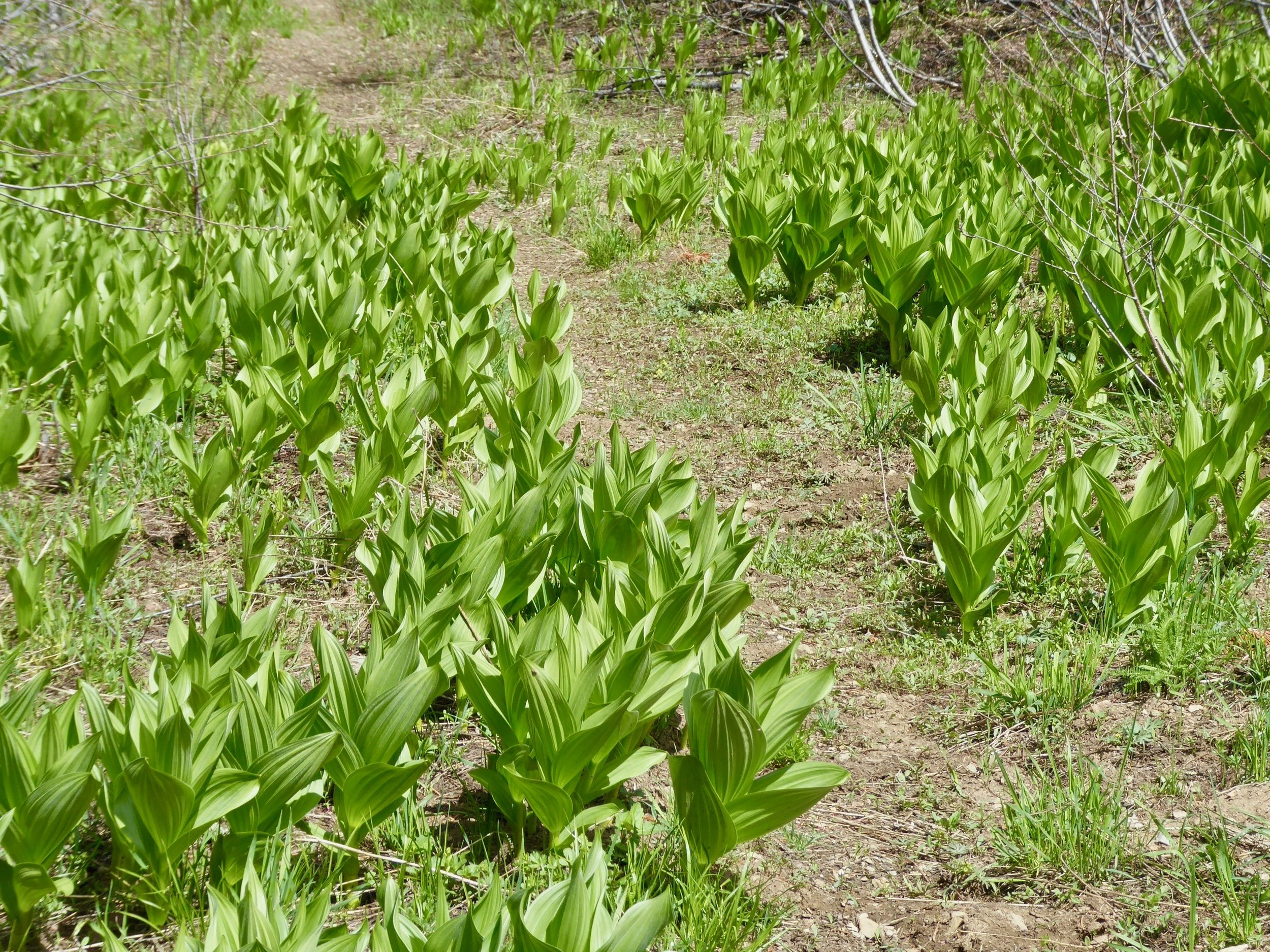 False Hellebore, a plant toxic to humans and animals
