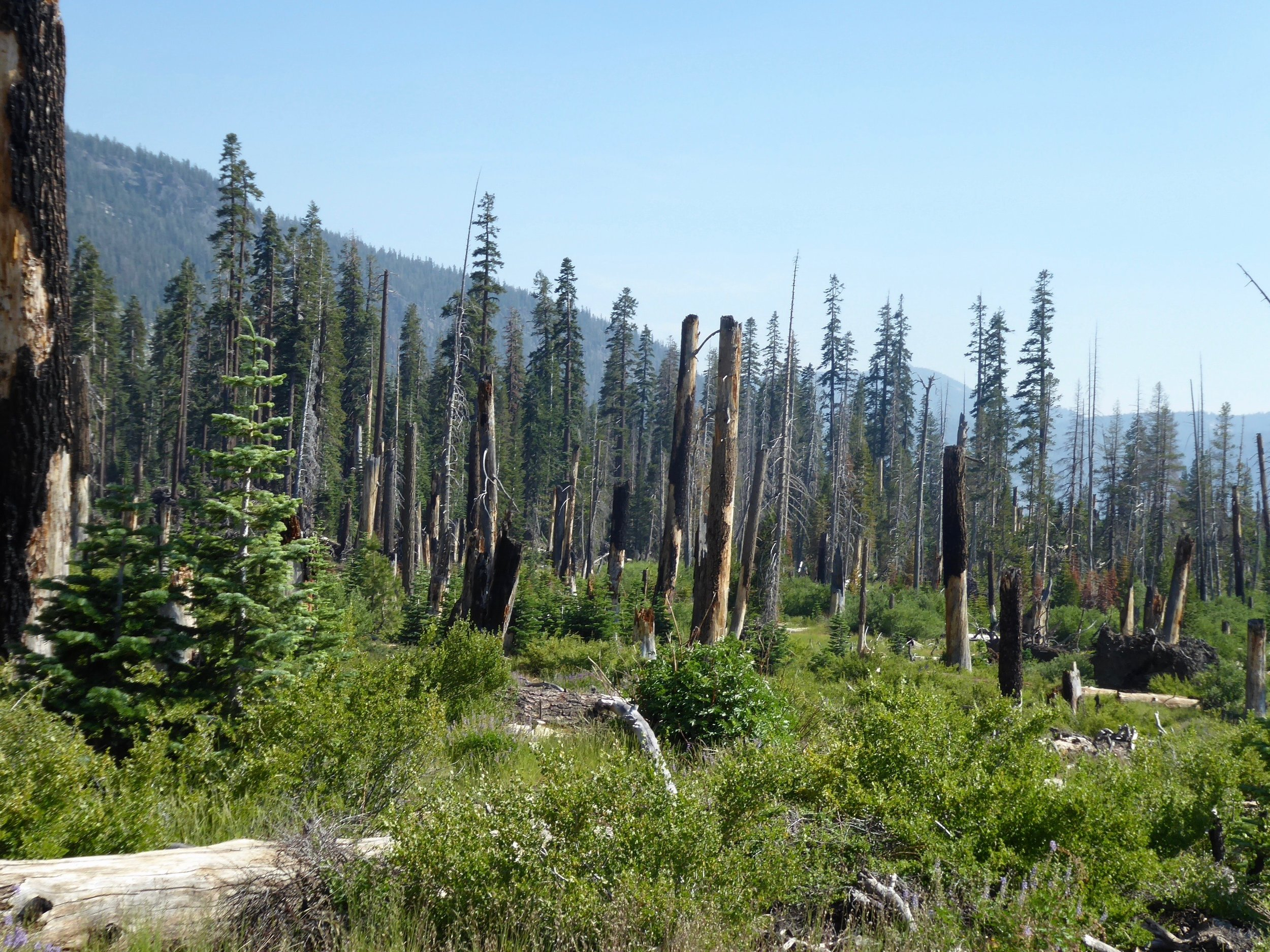 Even though the fire occurred in the 90's the burned trees were still standing.