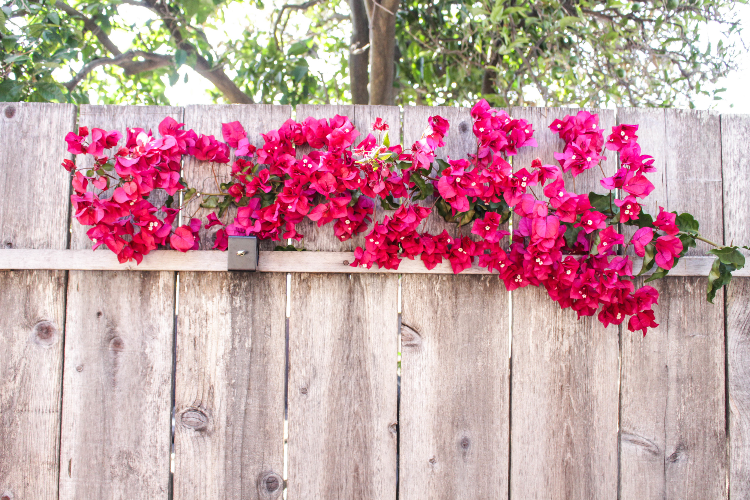Bougainvillea Photo Backdrop