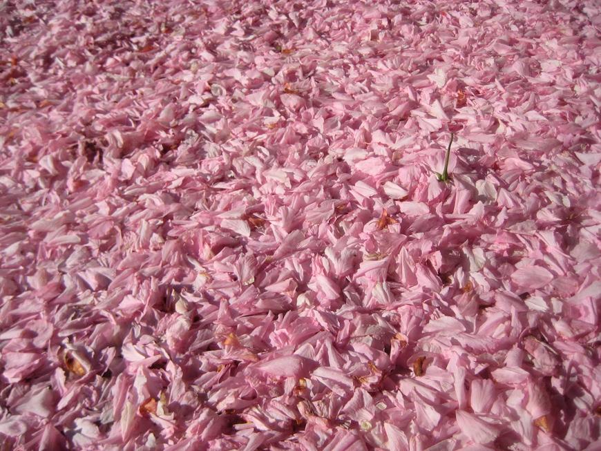 cherry-blossoms_Kelly_thompson_blog_15a44d9e-8521-4798-a44c-82eb23a56b83.jpg