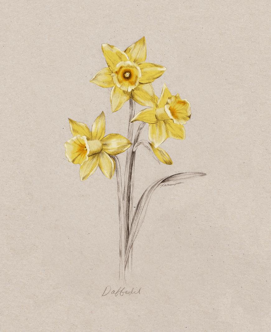 daffodil_Kelly_thompson_illustration_blog_botanical_art.jpg