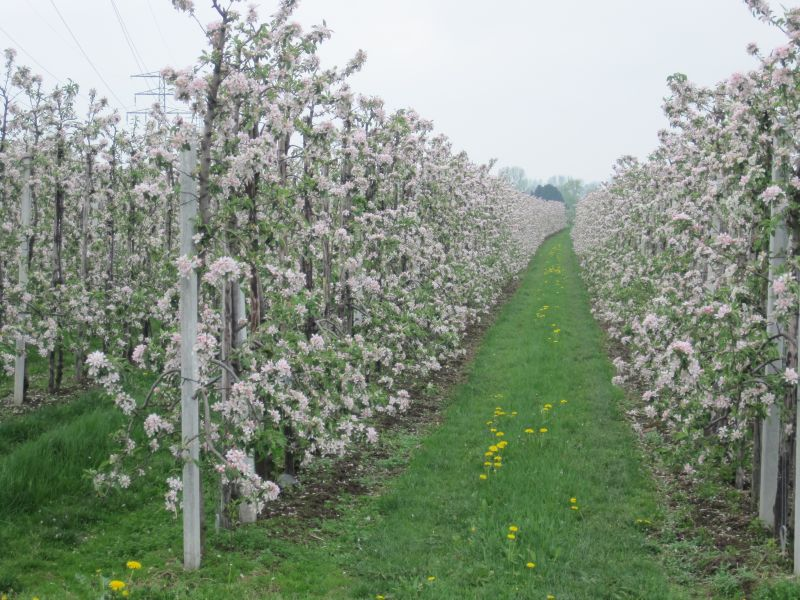 orchards and endless rows of apple trees