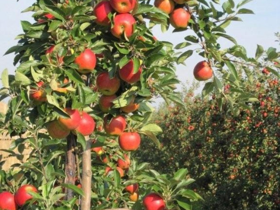 apples on the tree, easy to pick while harvesting
