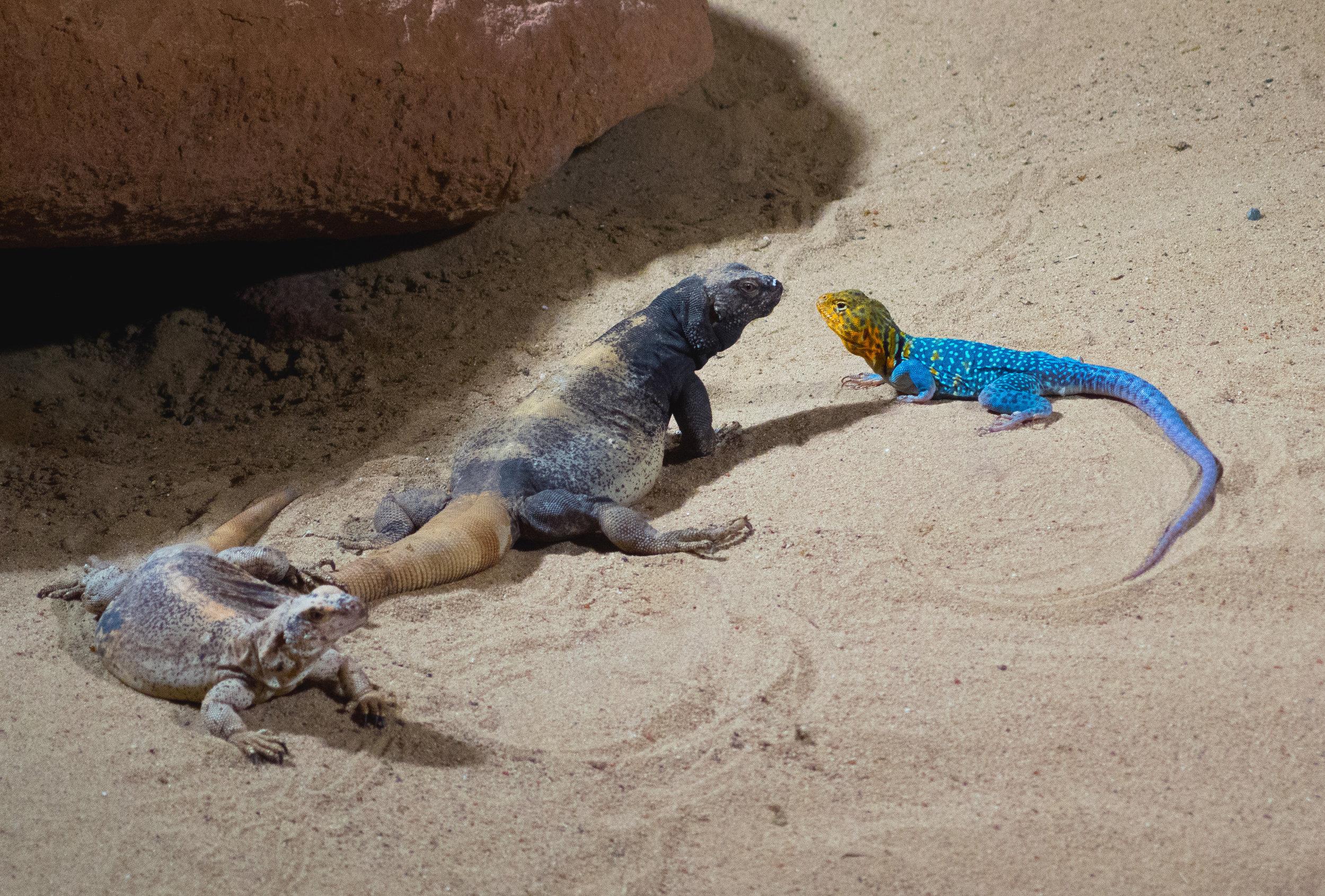 Desert Lizards