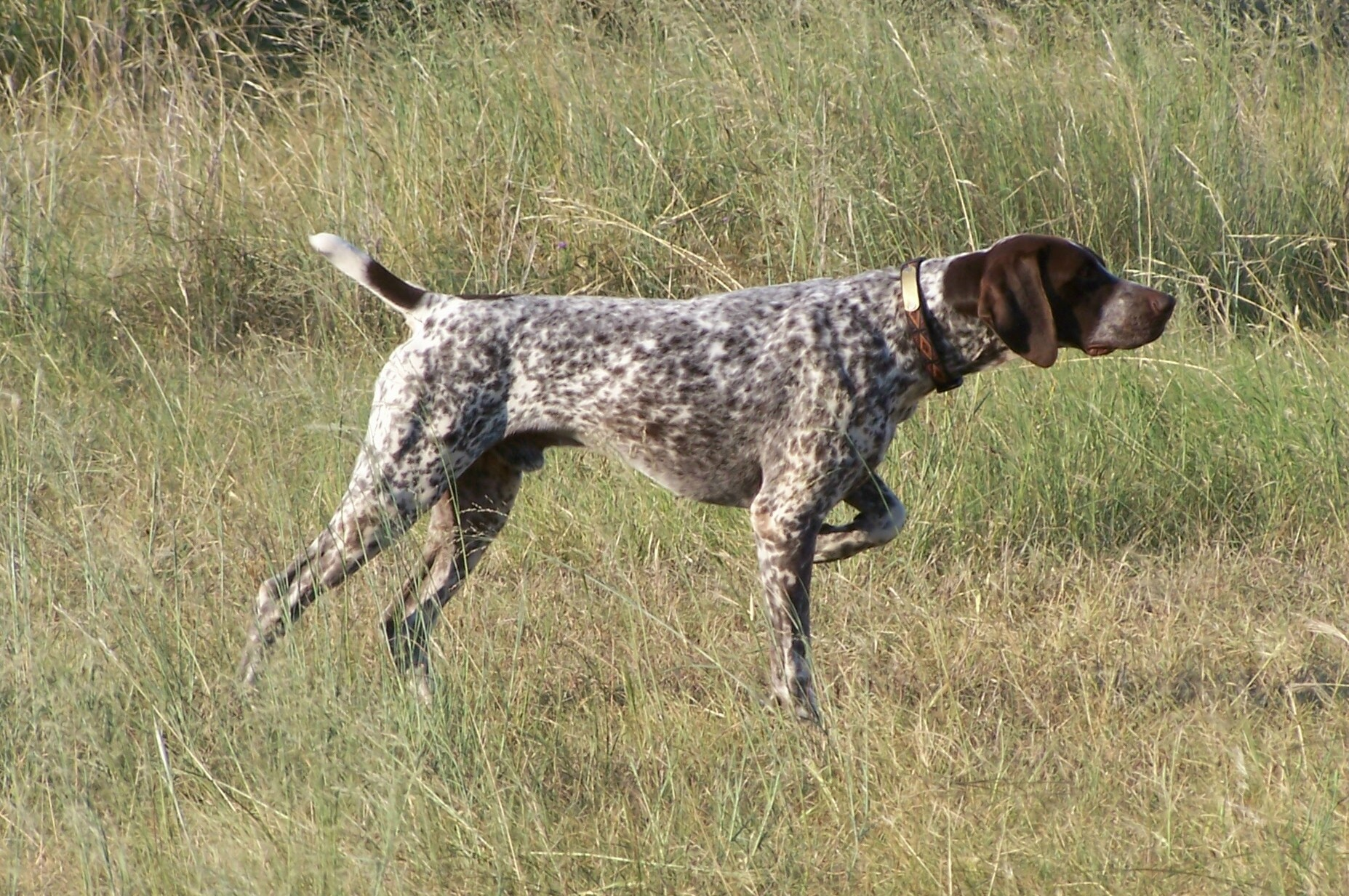 shorthaired_pointer_german.jpg