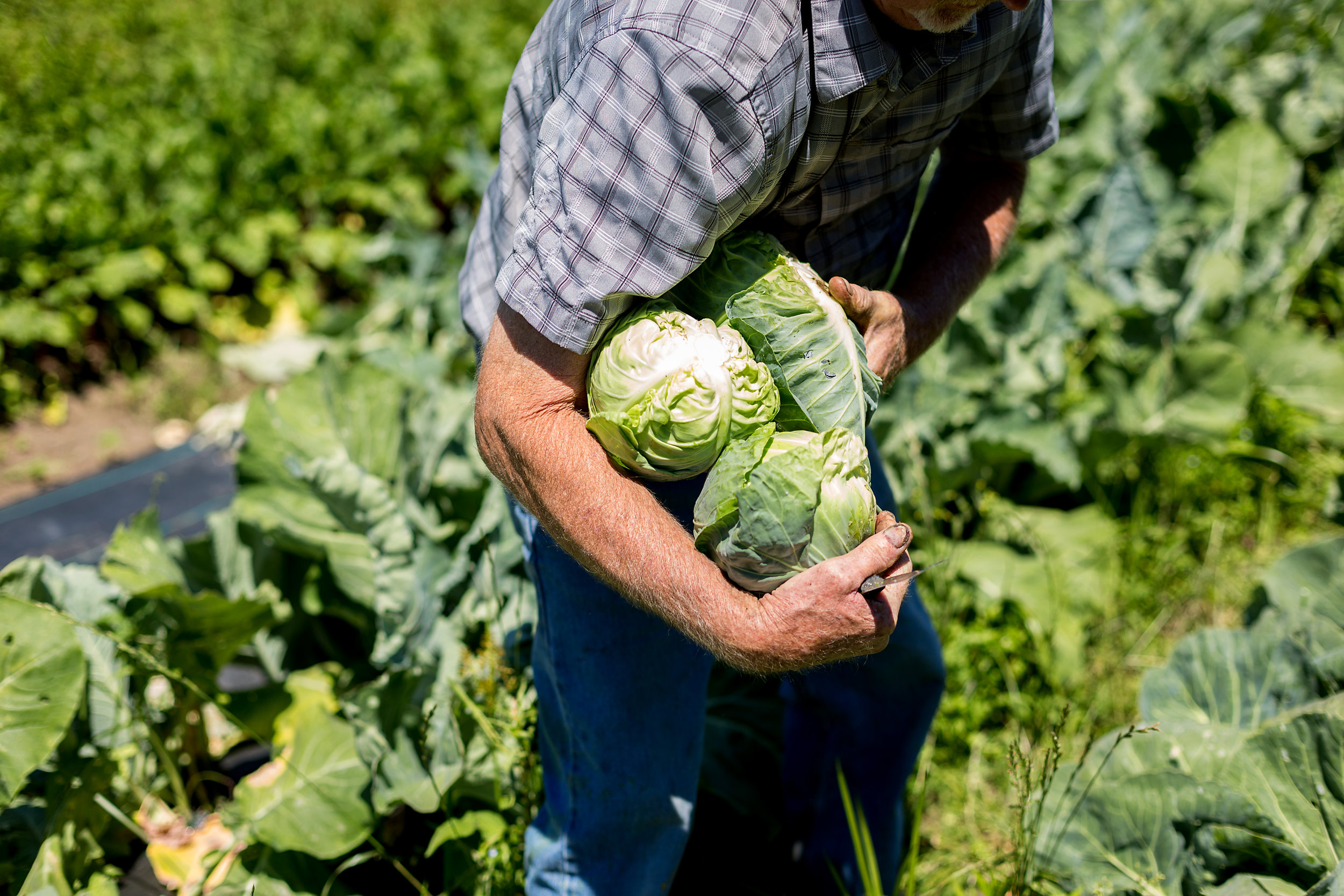 an armful of freshly picked cabbages