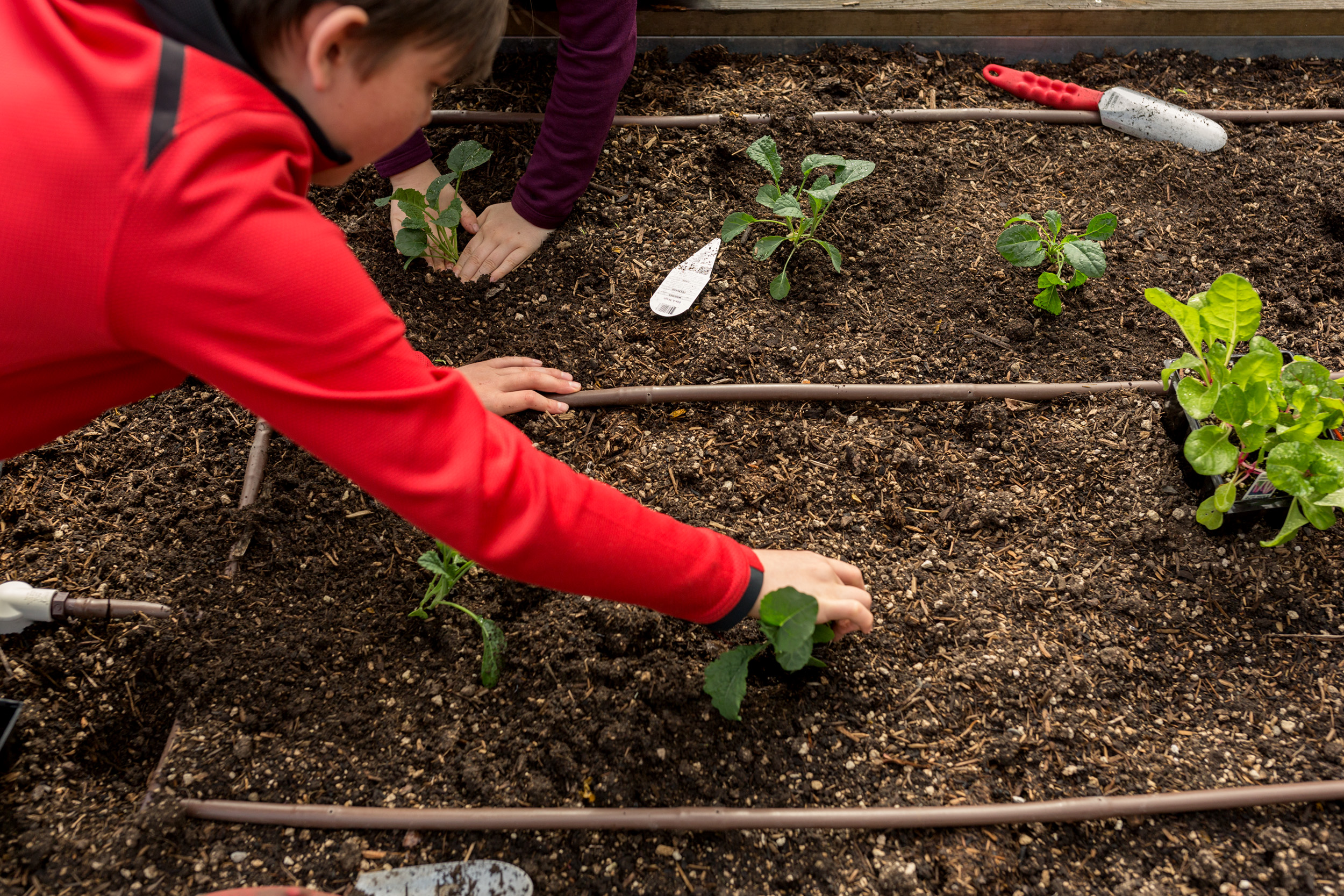 brother and sister planting kale in garden