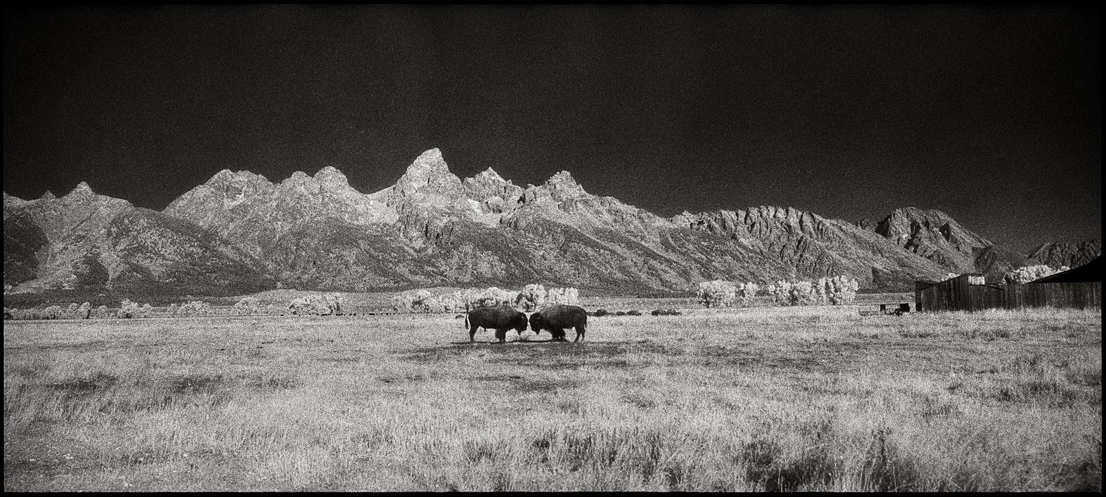 1 bison face off 2009.jpg