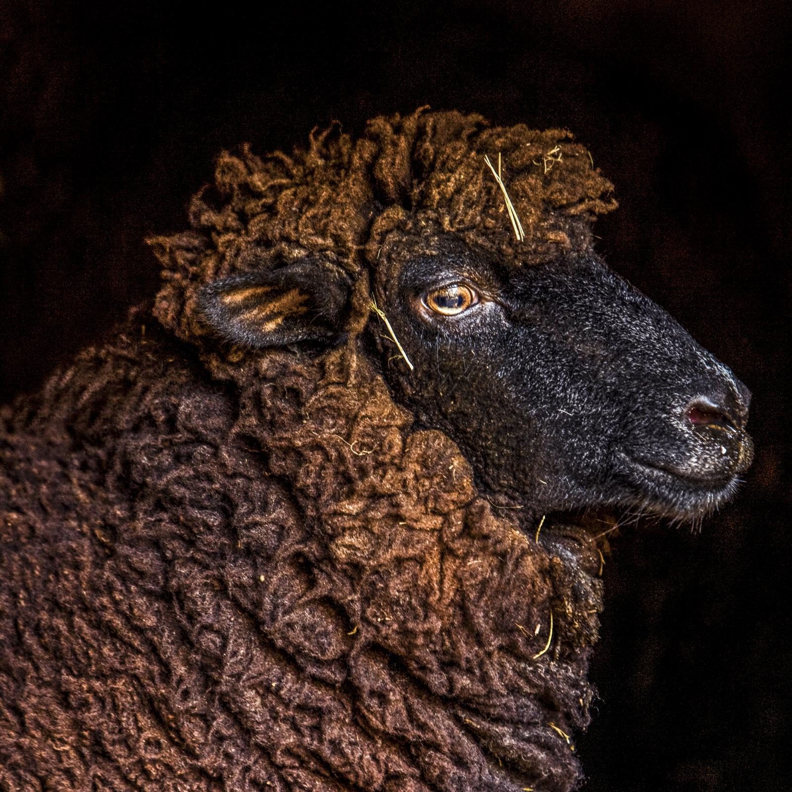 6-1-13 best sheep.jpg