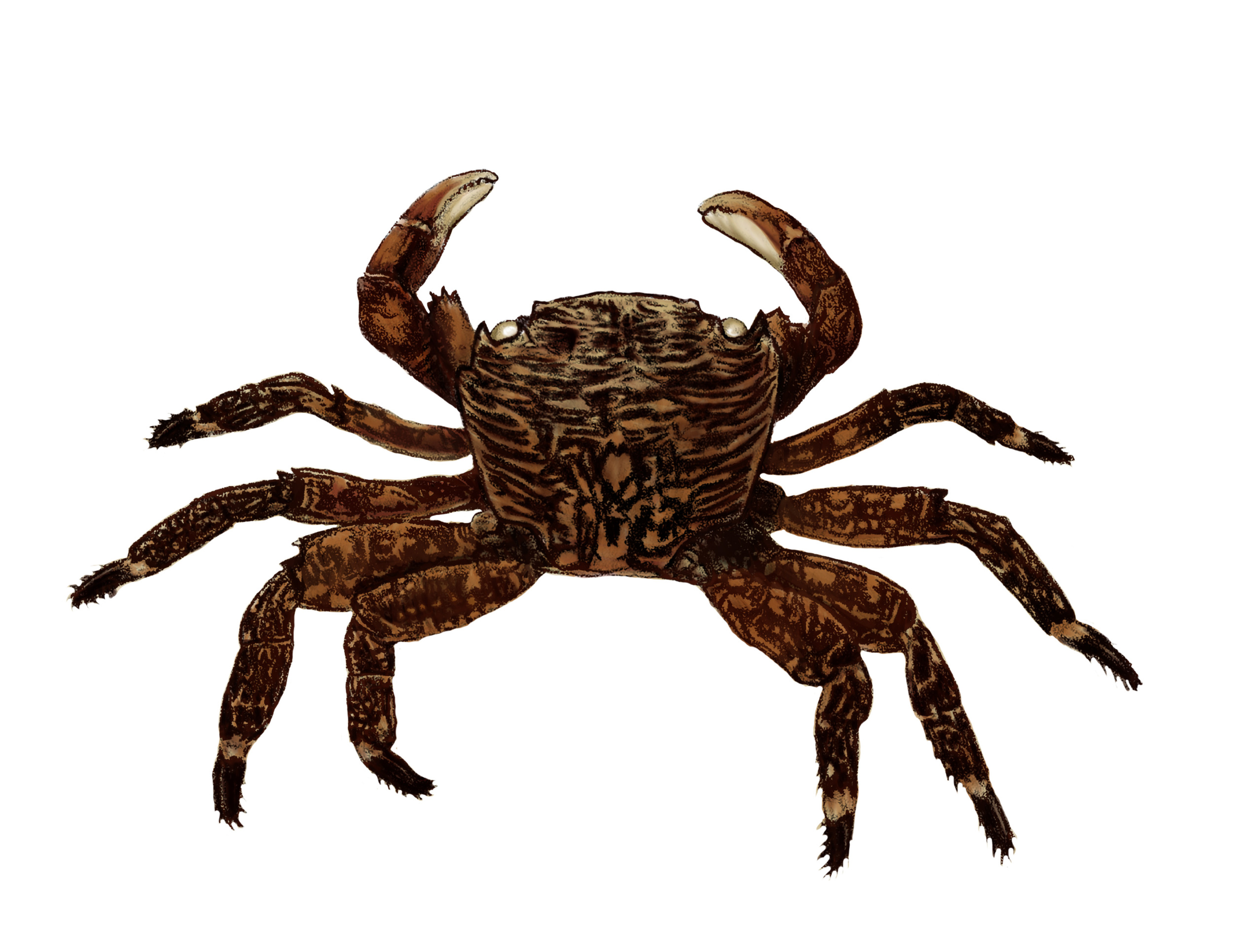 Crab Molt Colorized