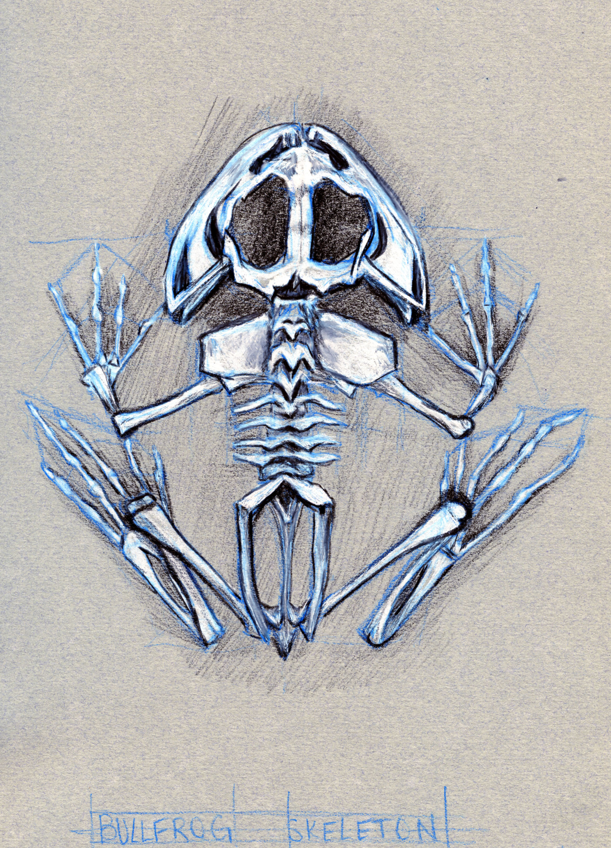 Bullfrog Skeleton