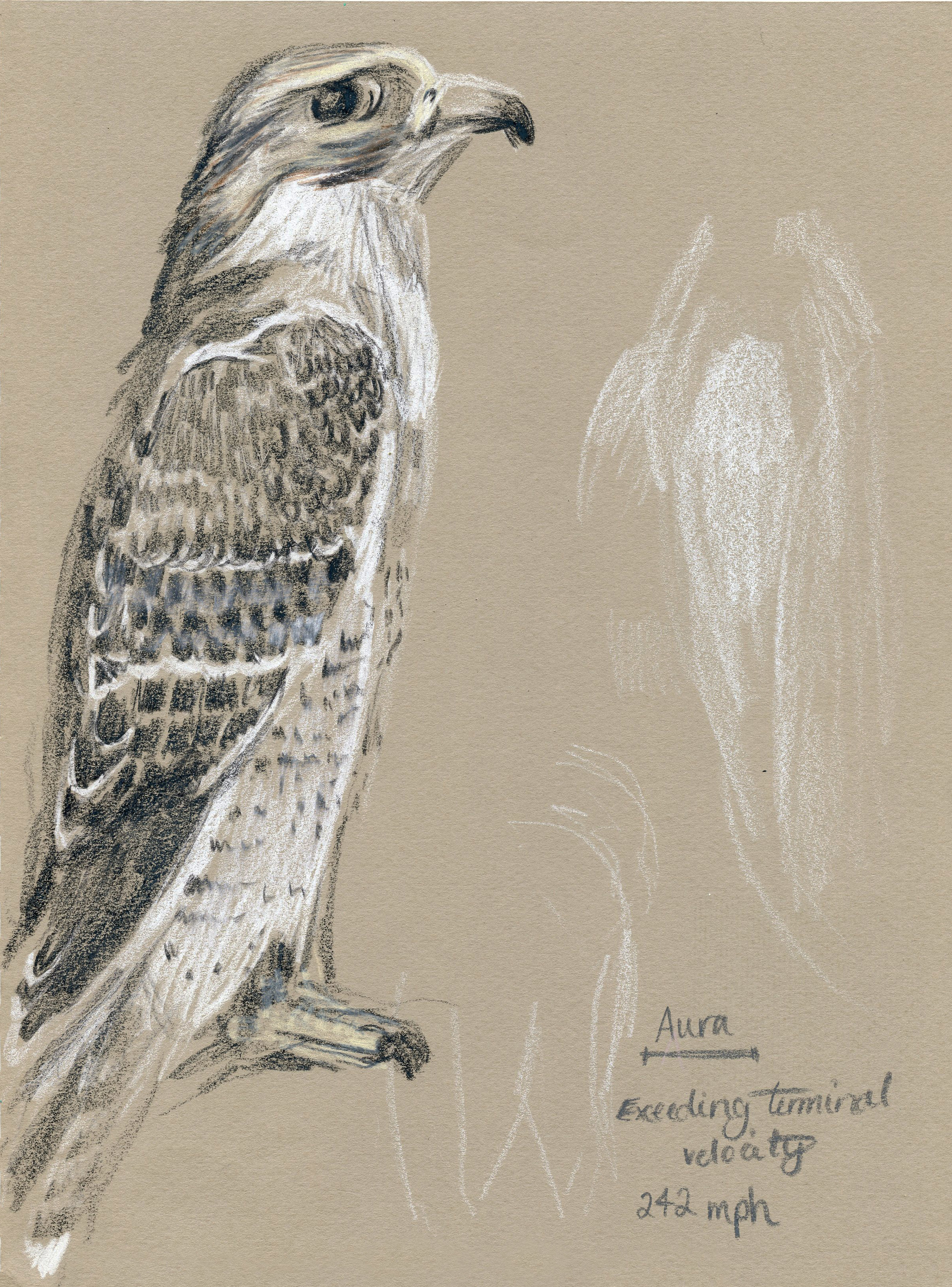 Sketches of Live Falcon