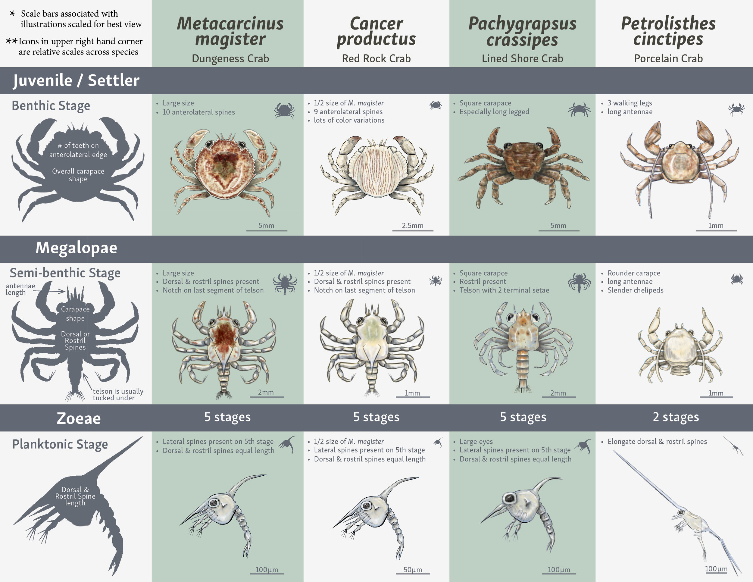 Crab Species Comparison Chart